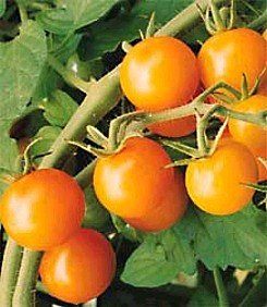 sun sugar cherry tomatoes